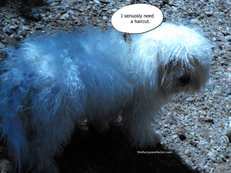 Funny Dog Haircut thefurryawwfactor.com