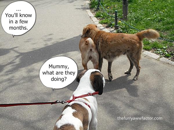 Puppy Saint Bernard thefurryawwfactor.com